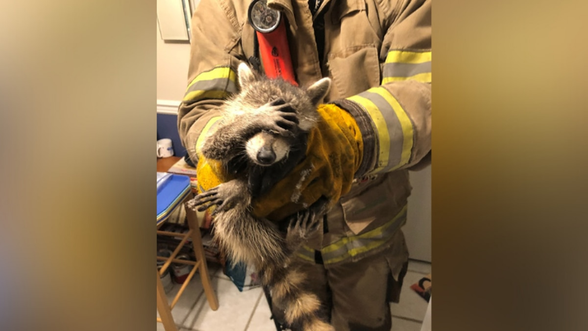 A raccoon was caught looking sheepish after firefighters had to rescue it from a home.