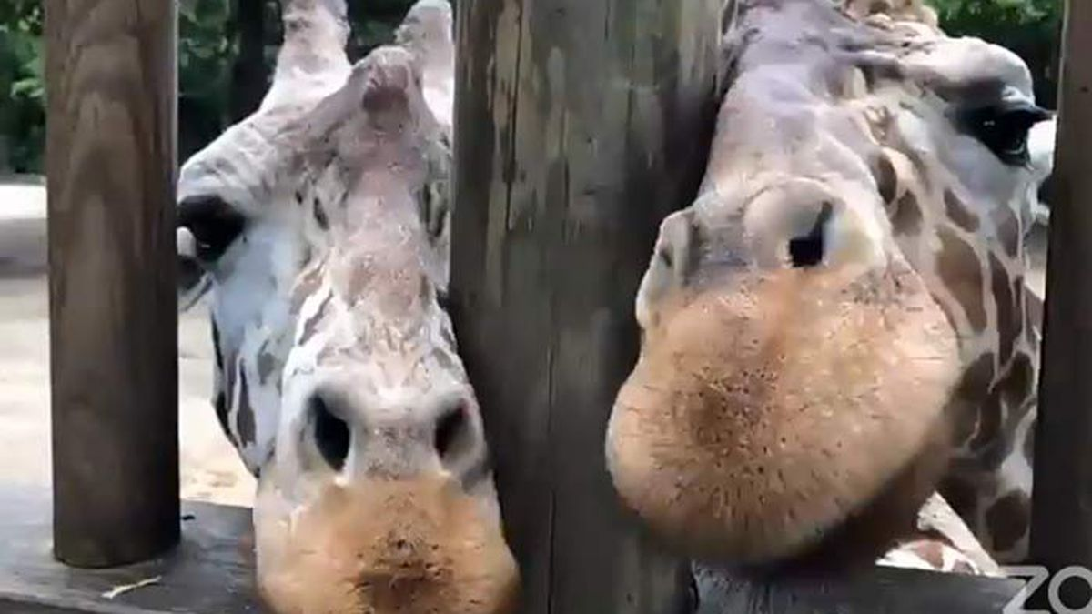 The giraffes at Riverbanks Zoo in Columbia took center stage during Thursday's edition of Live...