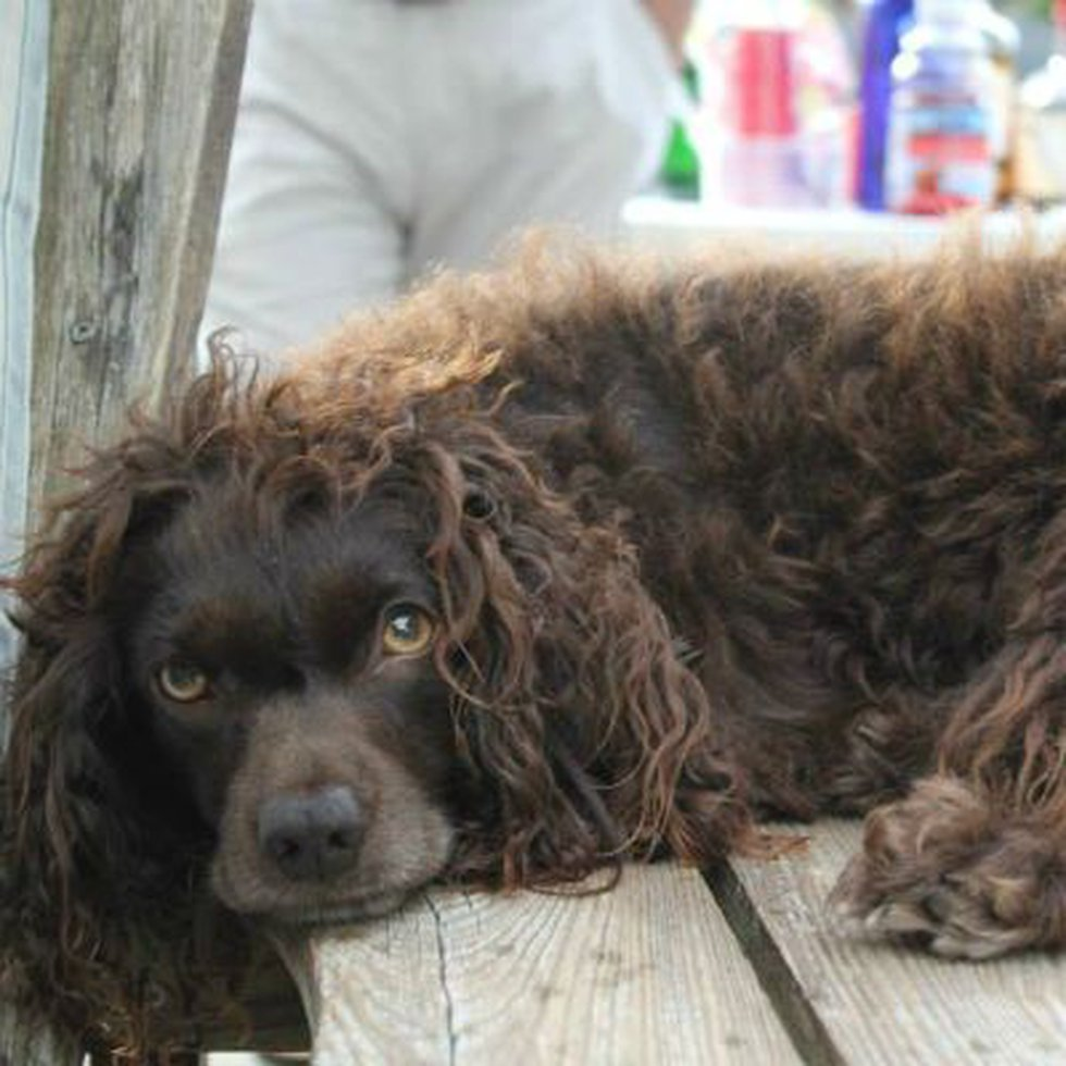 Mayble, the Boyken Spaniel that died. (Source: Facebook)