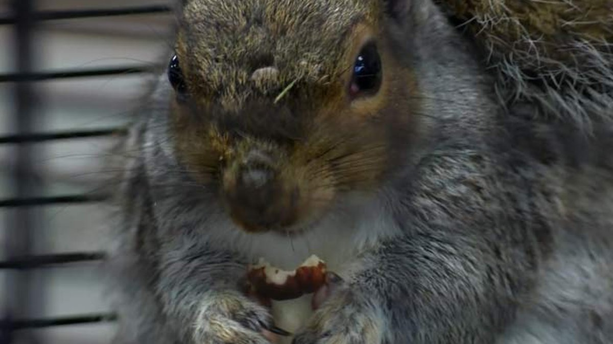 ChrisChris, a decendent of Gnocchi the squirrel who accurately predicted the last three...