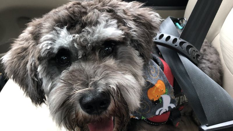 Bates Middle School therapy dog Bantam