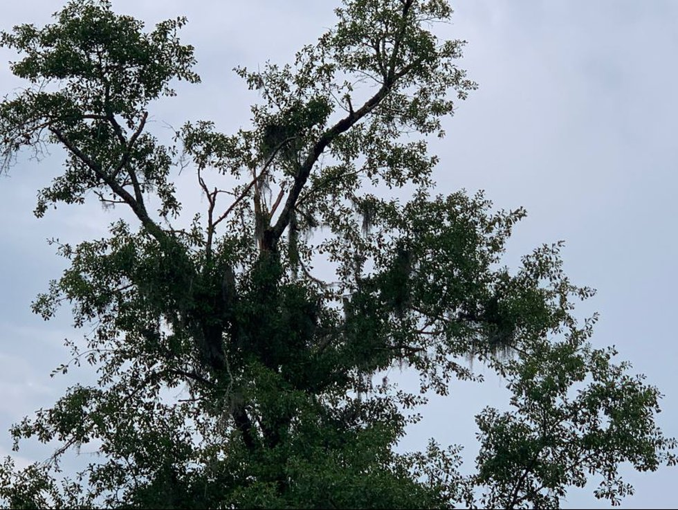 The top of a tree struck by lighting in Georgetown County shows signs of splintering at the...