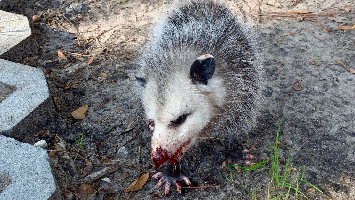 Scarlett the opossum was reportedly beaten with golf clubs on a Hilton Head Island golf course.