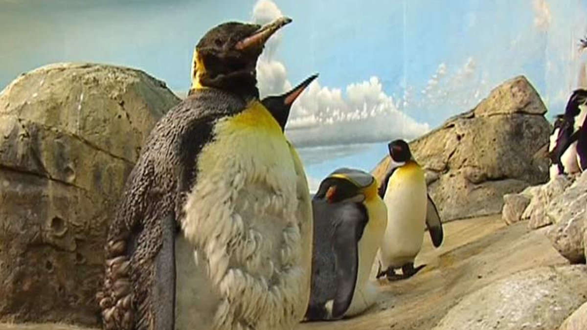 """Riverbanks Zoo shows off the penguin exhibit during Friday's special edition of """"Live 5..."""