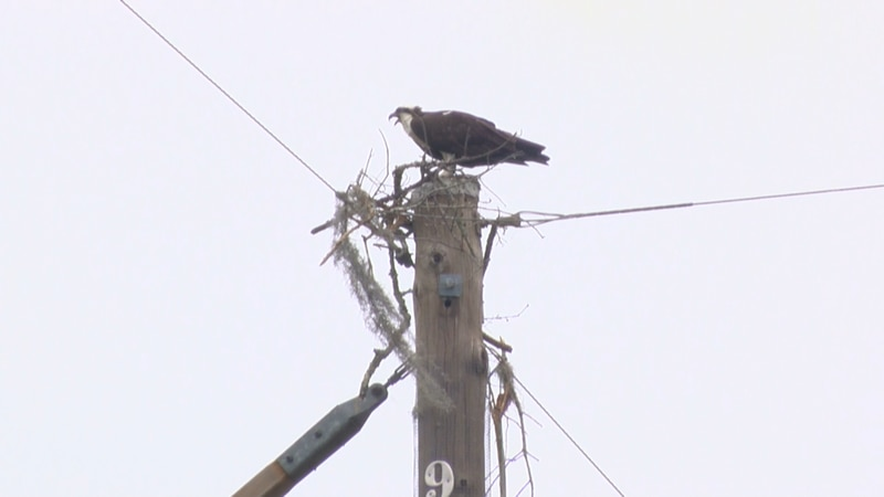 An osprey sits on a utility pole where homeowners say a large nest once was before it was...