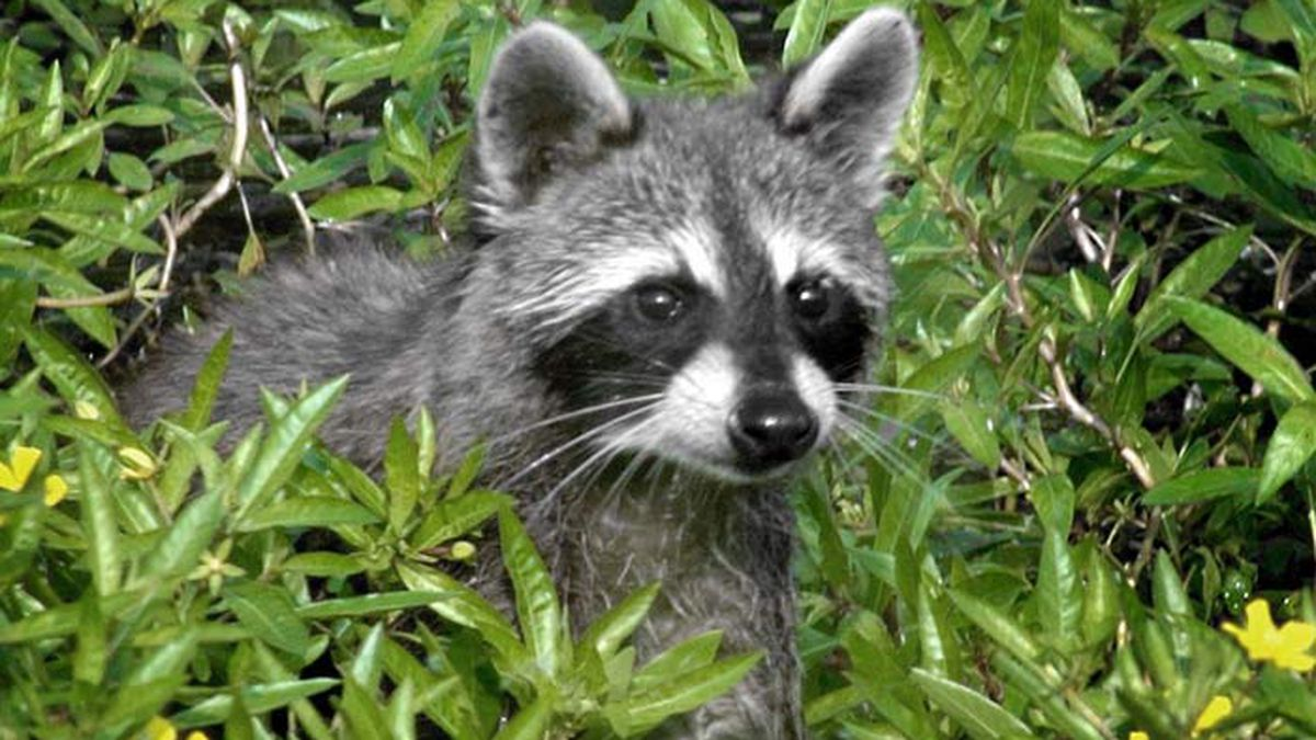 The South Carolina Department of Health and Environmental Control confirmed a raccoon in Hilton...