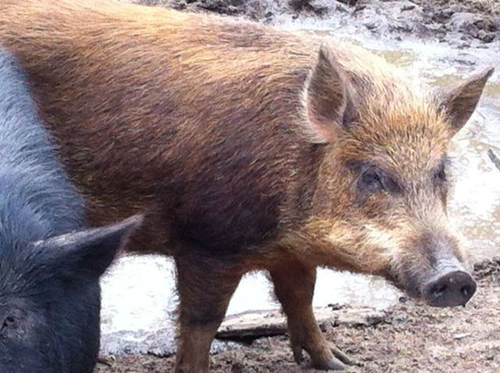 Photo of a pig similar to the one shot Monday. (Source: Helen Legare)