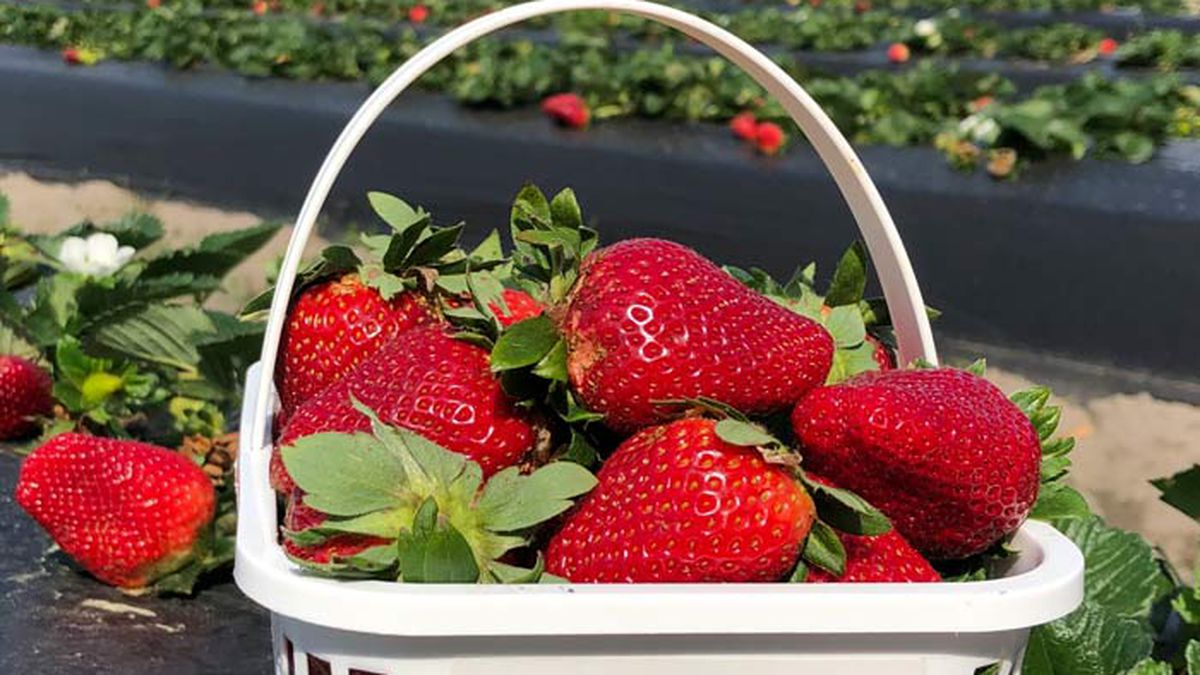 Boone Hall Plantation's annual Strawberry Festival returns on April 29 and runs through May 2.