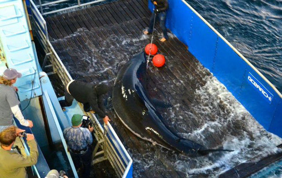 Mary Lee was tagged by the tracking device in Cape Cod in September (Photo Source: OCEARCH)
